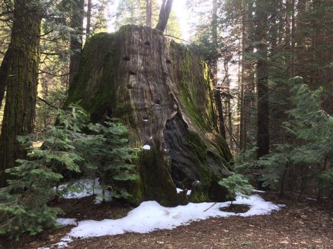 Giant Sequoia in Nelder Grove hike